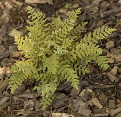 Woodsia intermedia