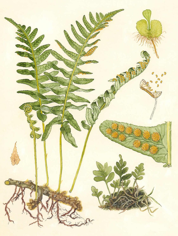 Phlebodium aureum - Wikipedia